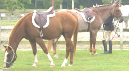 Examples of all purpose English saddles on two horses