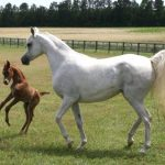 North Carolina Horse Farm, Weller Arabians